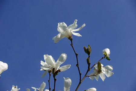 ornamental horticulture: White Magnolia flowers