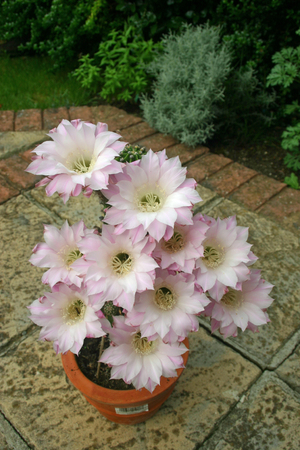 pale: Cactus with pale pink flowers