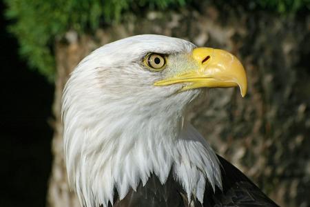 leucocephalus: Bald eagle (Haliaeetus leucocephalus)