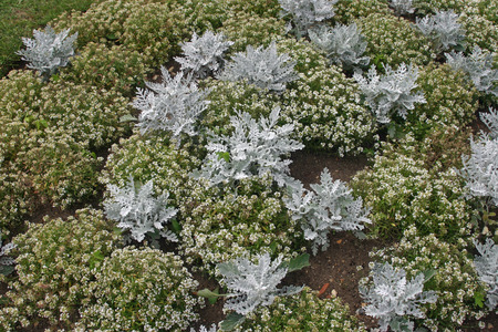 bedding: Sweet alyssum and silver ragwort bedding plants