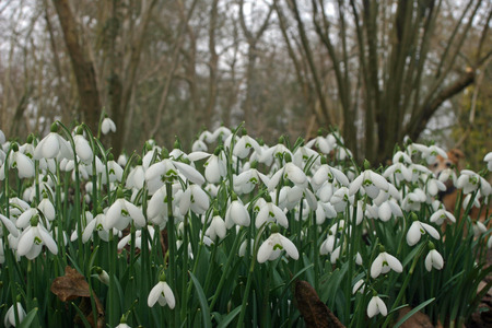 clump: Snowdrops (Galanthus) in a clump in a spring woodland