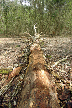 Fallen rotting tree trunk decaying on the woodland floor Stock Photo