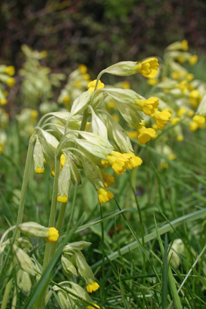 Cowslips (Primula veris) on a roadside verge
