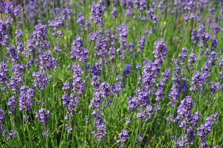 lavandula angustifolia: A bed of lavender (Lavandula angustifolia) flowers