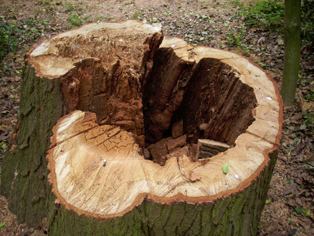 Cut tree stump with decay in the heartwood Stock Photo