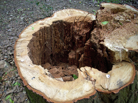 felled: Cut tree stump with decay in the heartwood Stock Photo
