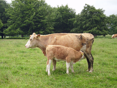 recently: White and light brown muddy cow with calf. Both with yellow ear tags stood in a grass field with trees behind. Calf has been recently suckling.