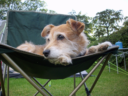 Cute brown and white Jack Russell cross Yorkshire terrier dog on a fabric camping chair with paws on the edge and trees and tent in the background.