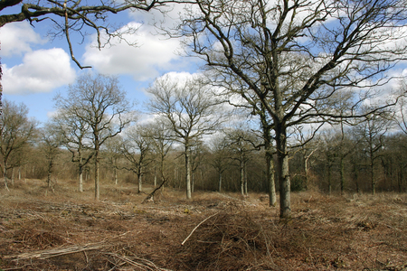 recently: Recently coppiced woodland with oak (Quercus robur) standards and cut branches on the woodland floor. Background of blue sky with white clouds.