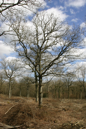 Recently coppiced woodland with oak (Quercus robur) standards and cut branches on the woodland floor. Background of blue sky with white clouds.