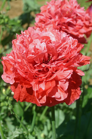 Frilly pink poppy (Papaver species) sometimes known as the peony or pompom poppy. Background with further flowers, soil, and leaves.