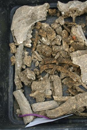 고고 학적 발굴의 검은 쟁반은 주로 동물의 뼈를 찾습니다. 스톡 콘텐츠