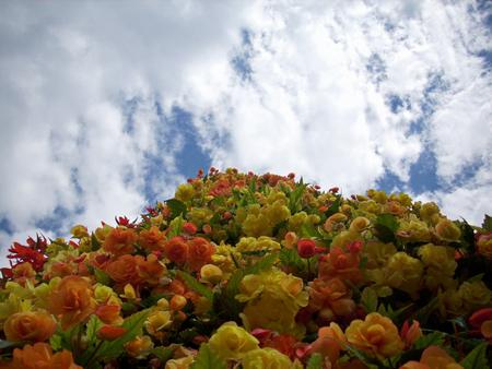 배경으로 흰 구름과 푸른 하늘이 주로 노란색과 오렌지 베 고 니 아 꽃의 타워의 얼굴을 찾고.