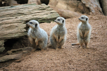 Three meerkats (Suricata suricatta) in a row all looking to the left. Background of tree log, sand and rock.