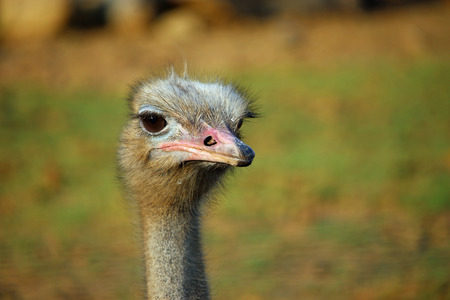 struthio camelus: Ostrich (Struthio camelus) head and neck looking forwards with a blurred background. Stock Photo
