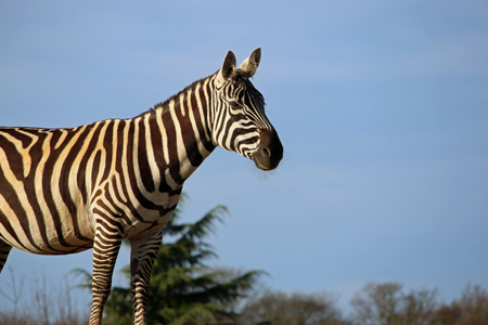 Maneless zebra (Equus quagga borneensis) in profile on a mound with trees and blue sky background.