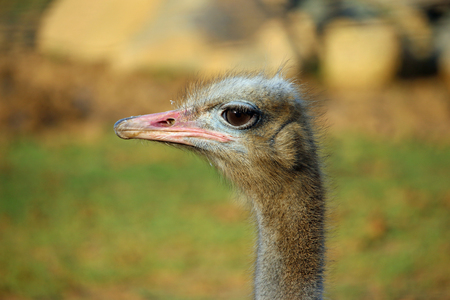 struthio camelus: Ostrich (Struthio camelus) head and neck in profile with a blurred background. Stock Photo