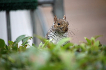 Grey squirrel (Sciurus carolinensis) looking over a hedge with a blurred building in the background. Stock Photo