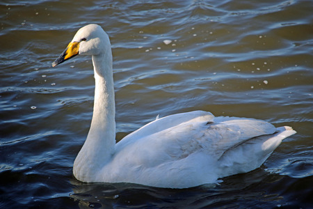 Whooper swan (Cygnus cygnus) floating on water facing to the left with good copy space. Stock Photo