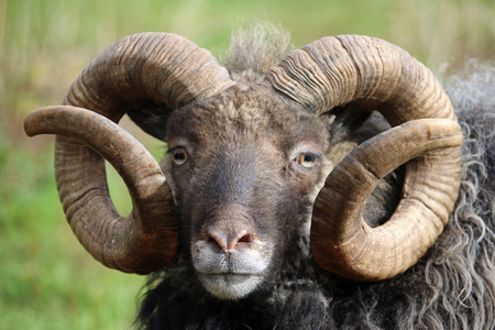 Rare breed sheep with a dark brown head, white nose, curled horns and a grey woolly grey coat. Breed is probably Shetland. Grass field as background.