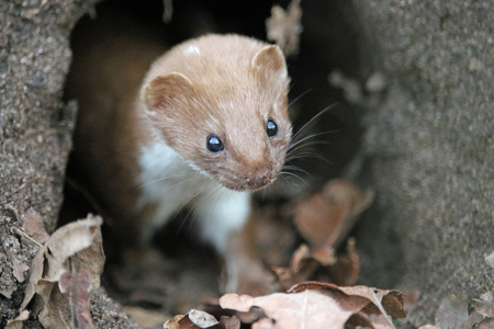 Weasel (Mustela nivalis) looking out of an old rabbit burrow hole in the ground with dead leaves in the foreground.