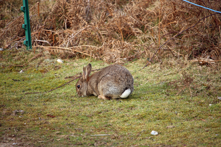 Rabbit (Oryctolagus cuniculus) eating grass with white tail visible and a background of bracken (Pteridium aquilinum).