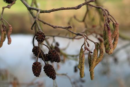 Coni e fiori dell'albero di ontano (Alnus glutinosa) all'estremità di un piccolo ramo con un fondo vago. Archivio Fotografico - 91376993