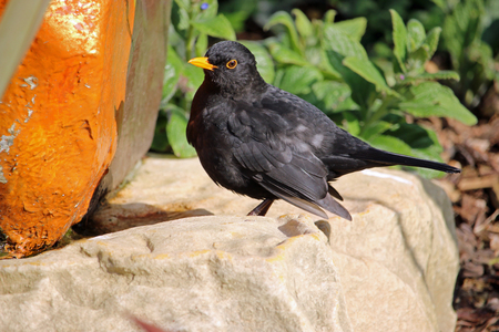 Blackbird (Turdus merula) on a rock which has been painted orange and matches the beak and eye ring of the bird. Bark mulch and plants blurred in the background.