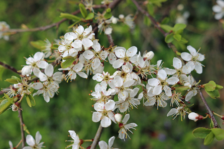 Blackthorn (Prunus spinosa) flowers on a branch in spring. Blurred vegetation in the backgound. Stock Photo