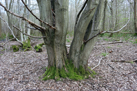 Hornbeam tree (Carpinus betulus) with moss around the base splitting into two trunks at ground level with a background of woodland with decaying leaves on the woodland floor. Stock Photo