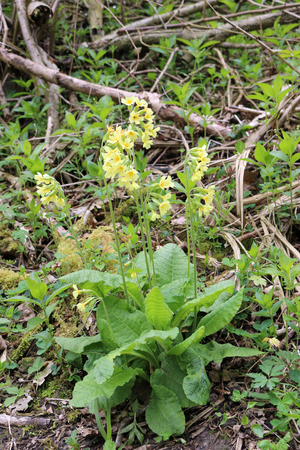 Oxlip (Primula elatior) flowers in the foreground in coppice woodland with trees as the background. A nationally scarce plant in the UK but often found in woods in East Anglia.