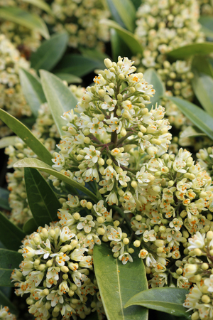 Flowering spikes of the Skimmia x confusa Kew Green evergreen plant in full flower with leaves and flowers of the same plant in the background. Фото со стока
