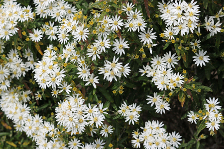 Scilly daisy bush (Olearia x scilloniensis) in full flower with a background of leaves of the same plant.