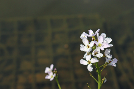 Flowering spike of ladies smock also known as cuckoo flower (Cardamine pratensis) with pink and white flowers and a dark background.