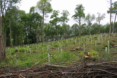 Recently coppiced woodland with newly planted trees in tree shelters and isolated standard trees in the background and cut branches in the foreground. Stock fotó