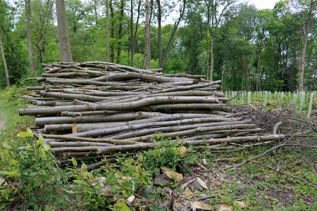 Stack of cord wood in a recently coppiced woodland with newly planted trees in tree shelters and isolated standard trees in the background.