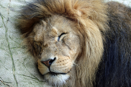 Close view of an adult male lion with large mane lying on the ground asleep on hot rock.