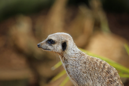 Meerkat (Suricata suricatta) in close up facing left with leaves blurred in the background. Stock Photo