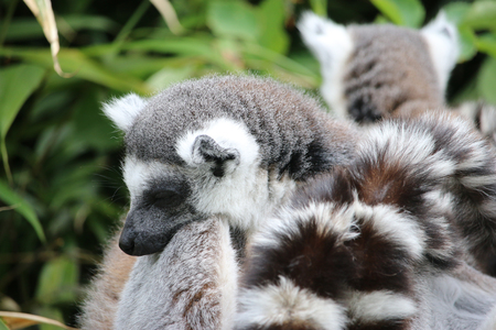 Group of ring-tailed lemurs (Lemur catta) resting together the head of one laying on the back of another with a background of leaves.