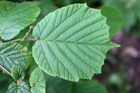 Hazel (Corylus avellana) tree leaves with one prominent in the centre with a blurred background of leaves and soil. Stock fotó