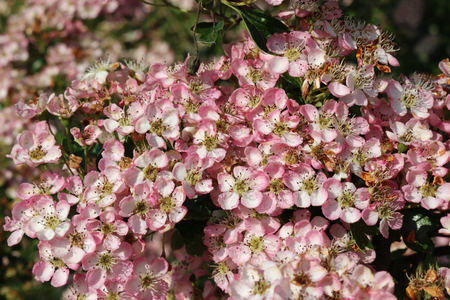 Hawthorn (Crataegus monogyna) flowers with pink and white petals and a blurred dark background of leaves. Stock Photo