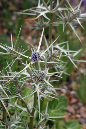 Ornamental sea holly (probably Eryngium variifolium) in flower with the characteristic marbled basal leaves just visible blurred in the background.