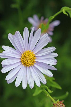 Single Korean aster (Kalimeris incisa var Blue Star) pale blue flower with a further blurred flower and leaves in the background.