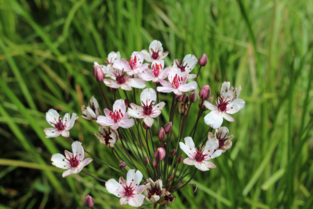 Pink flowering rush (Butomus umbellatus) flowers in close up with leaves and flower stems of the same plant blurred in the background.