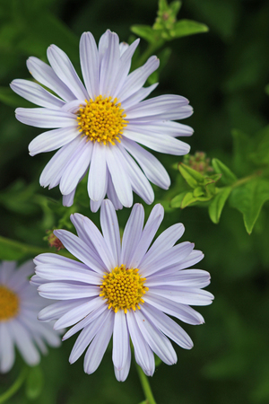 Two Korean aster (Kalimeris incisa var Blue Star) pale blue flowers with a further blurred flower and leaves in the background.