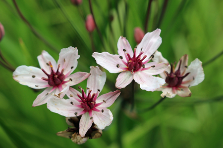 Pink flowering rush (Butomus umbellatus) flowers in macro close up with leaves and flower stems of the same plant blurred in the background.