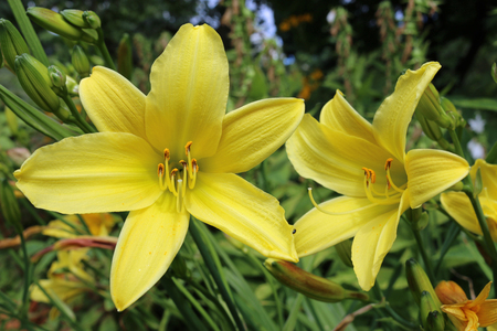 Two yellow daylily (Hemerocallis) flowers with a background of flowers and leaves of other daylilies. Stock Photo