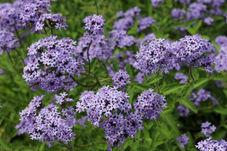 Clusters of purple Argentinian vervain (Verbena bonariensis) flowers with focus on the foreground and a background of other flowers and leaves of the same plant. Stock Photo