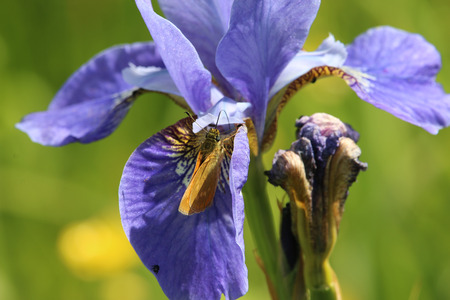 Purple iris flower with large skipper butterfly (Ochlodes sylvanus) feeding on one of the flowers.