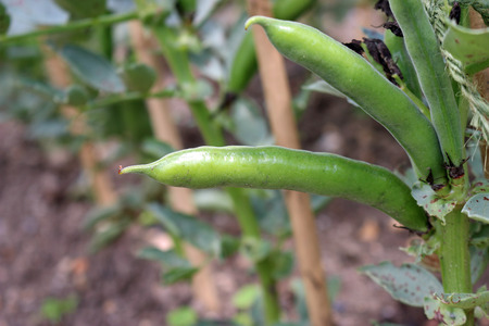 Broad beans (Vicia faba) ready to pick from the plant with other bean plants and bamboo canes in the background.